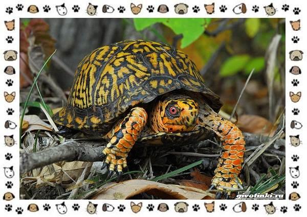 Виды-черепах-водных-и-сухопутных-16