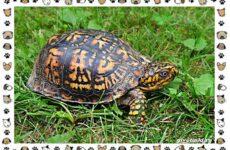 Виды черепах водных и сухопутных
