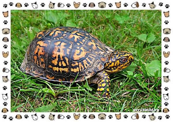 Виды-черепах-водных-и-сухопутных-17