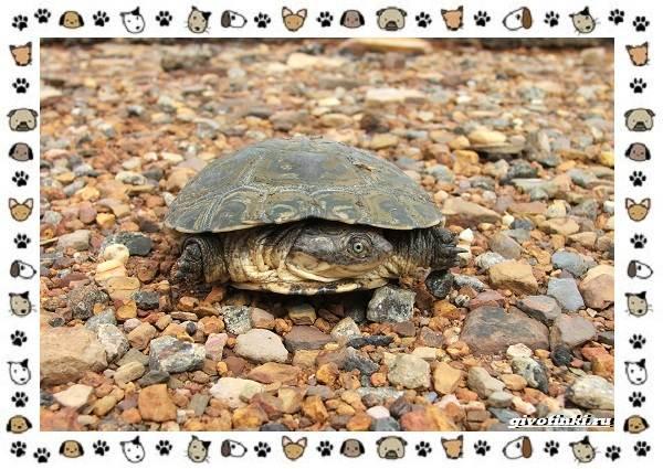 Виды-черепах-водных-и-сухопутных-18