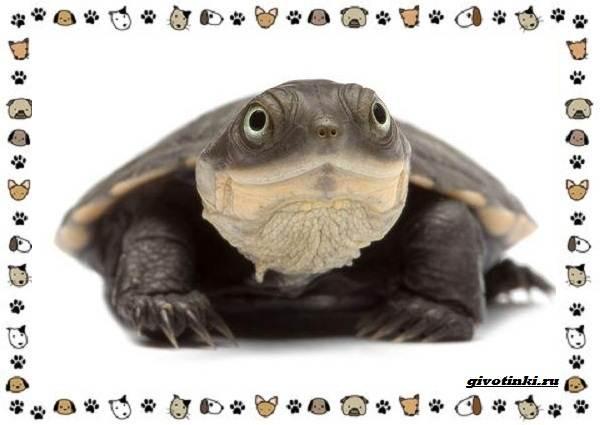 Виды-черепах-водных-и-сухопутных-19