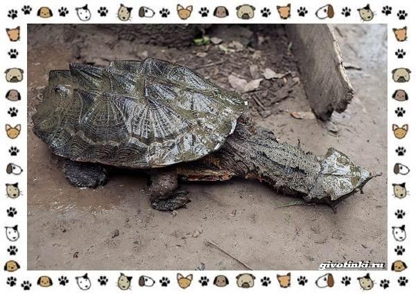 Виды-черепах-водных-и-сухопутных-22