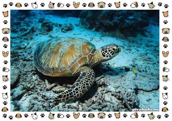 Виды-черепах-водных-и-сухопутных-23