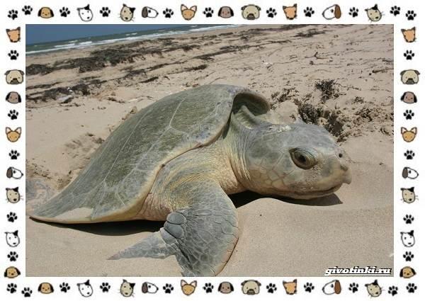 Виды-черепах-водных-и-сухопутных-24