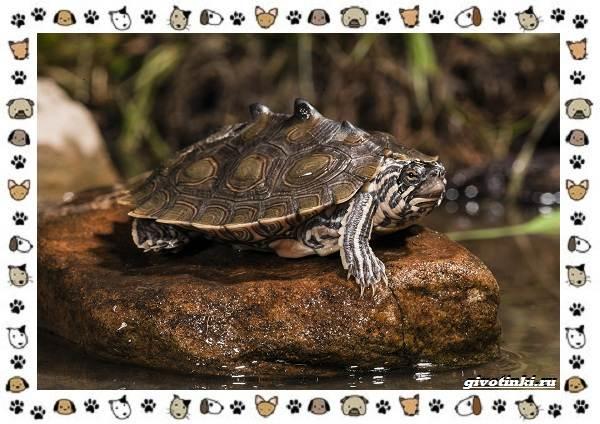 Виды-черепах-водных-и-сухопутных-29