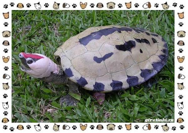Виды-черепах-водных-и-сухопутных-30