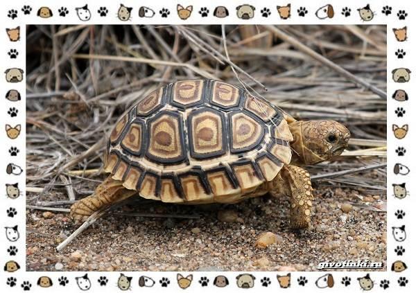 Виды-черепах-водных-и-сухопутных-33