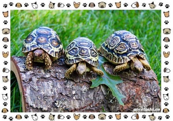 Виды-черепах-водных-и-сухопутных-34