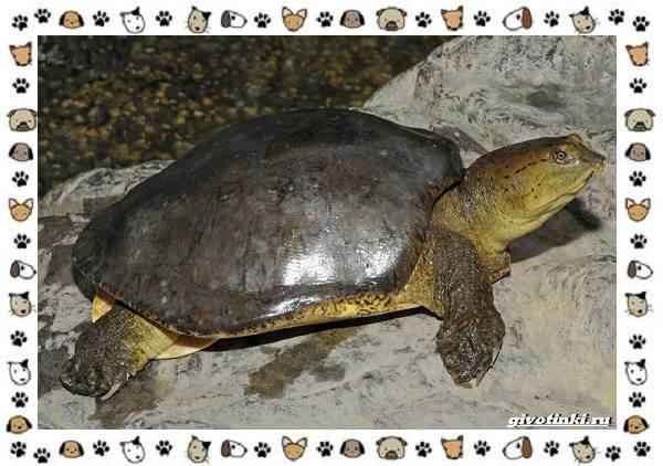 Виды-черепах-водных-и-сухопутных-37