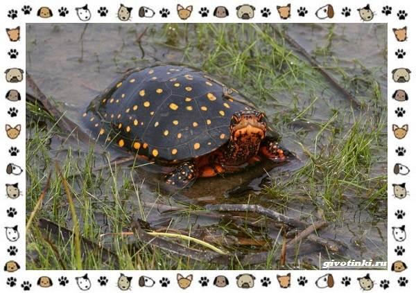 Виды-черепах-водных-и-сухопутных-40