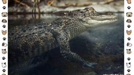 Виды крокодилов: описание, особенности и среда обитания