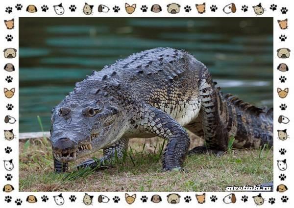 Виды-крокодилов-описание-особенности-и-среда-обитания-10