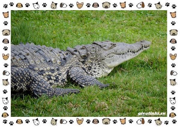 Виды-крокодилов-описание-особенности-и-среда-обитания-11