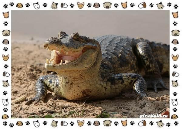 Виды-крокодилов-описание-особенности-и-среда-обитания-12