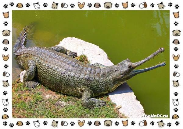 Виды-крокодилов-описание-особенности-и-среда-обитания-13