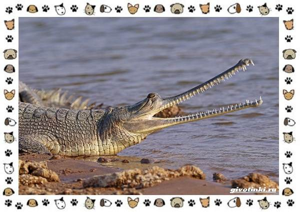 Виды-крокодилов-описание-особенности-и-среда-обитания-14