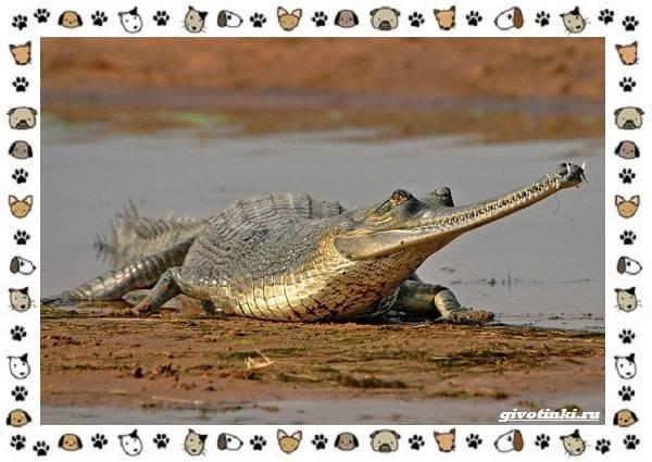 Виды-крокодилов-описание-особенности-и-среда-обитания-15