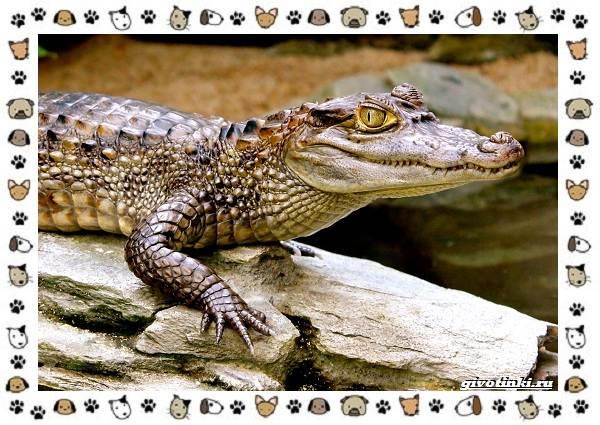 Виды-крокодилов-описание-особенности-и-среда-обитания-19