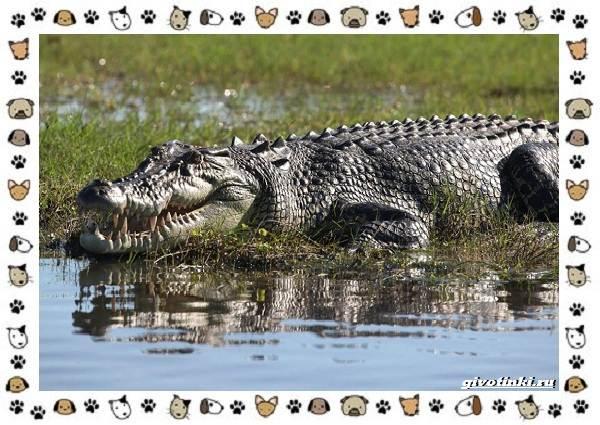 Виды-крокодилов-описание-особенности-и-среда-обитания-2