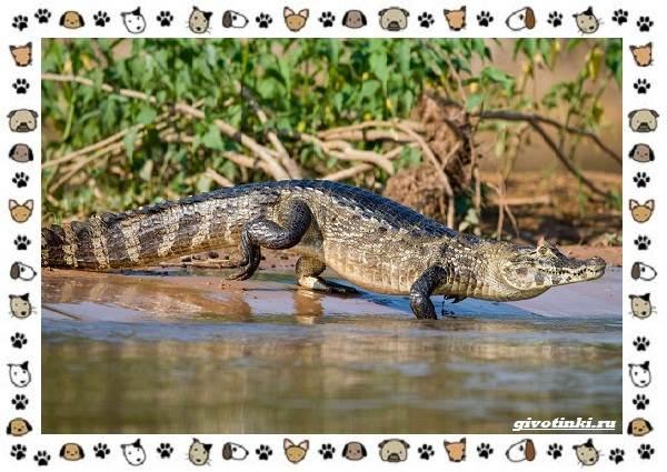 Виды-крокодилов-описание-особенности-и-среда-обитания-20