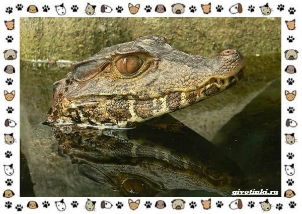 Виды-крокодилов-описание-особенности-и-среда-обитания-23