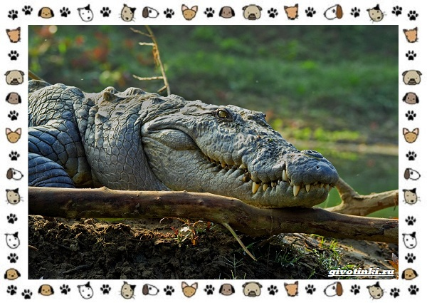 Виды-крокодилов-описание-особенности-и-среда-обитания-25