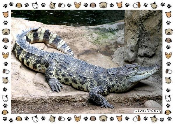 Виды-крокодилов-описание-особенности-и-среда-обитания-26