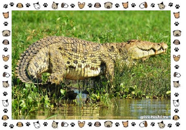 Виды-крокодилов-описание-особенности-и-среда-обитания-27