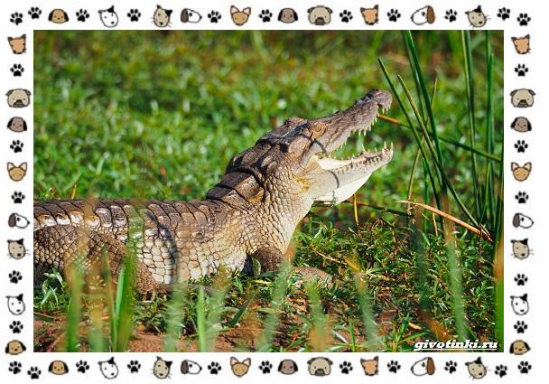 Виды-крокодилов-описание-особенности-и-среда-обитания-28