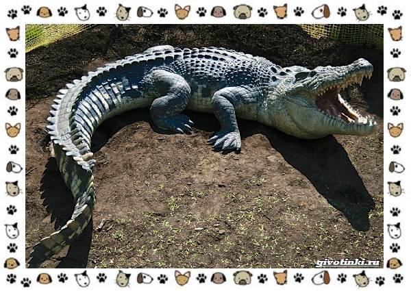 Виды-крокодилов-описание-особенности-и-среда-обитания-3