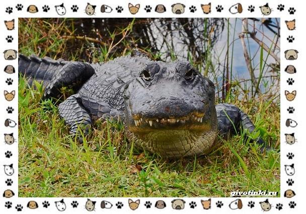 Виды-крокодилов-описание-особенности-и-среда-обитания-30