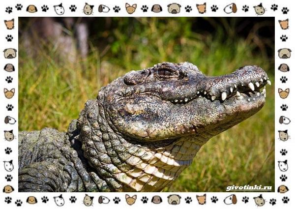 Виды-крокодилов-описание-особенности-и-среда-обитания-31