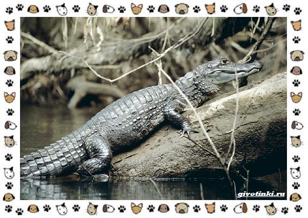 Виды-крокодилов-описание-особенности-и-среда-обитания-33