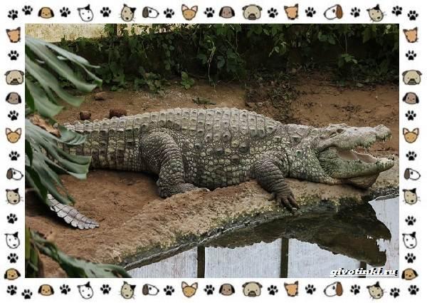 Виды-крокодилов-описание-особенности-и-среда-обитания-4