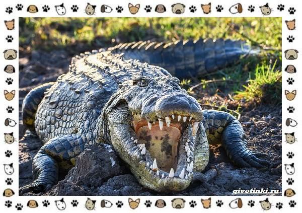 Виды-крокодилов-описание-особенности-и-среда-обитания-6