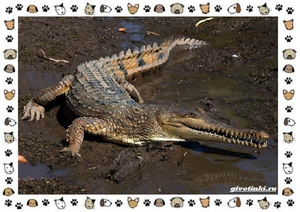 Виды-крокодилов-описание-особенности-и-среда-обитания-7
