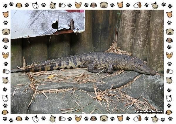 Виды-крокодилов-описание-особенности-и-среда-обитания-8