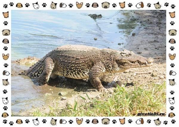 Виды-крокодилов-описание-особенности-и-среда-обитания-9