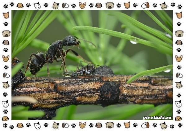 Виды-муравьёв-их-особенности-образ-жизни-и-среда-обитания-11