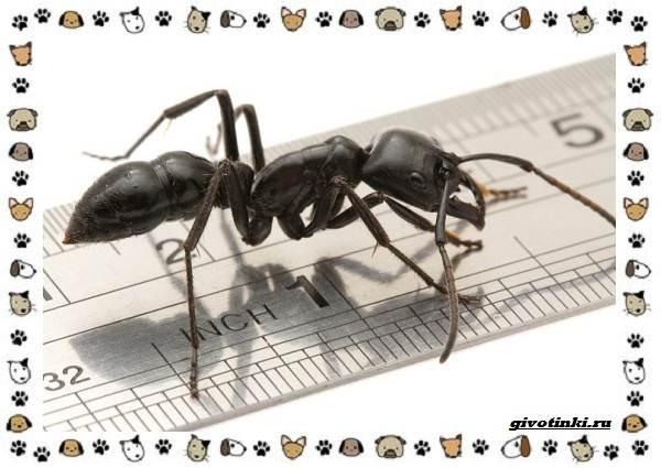 Виды-муравьёв-их-особенности-образ-жизни-и-среда-обитания-12