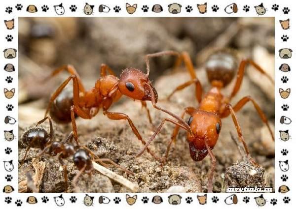 Виды-муравьёв-их-особенности-образ-жизни-и-среда-обитания-13