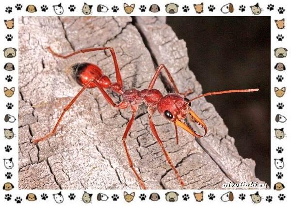 Виды-муравьёв-их-особенности-образ-жизни-и-среда-обитания-16