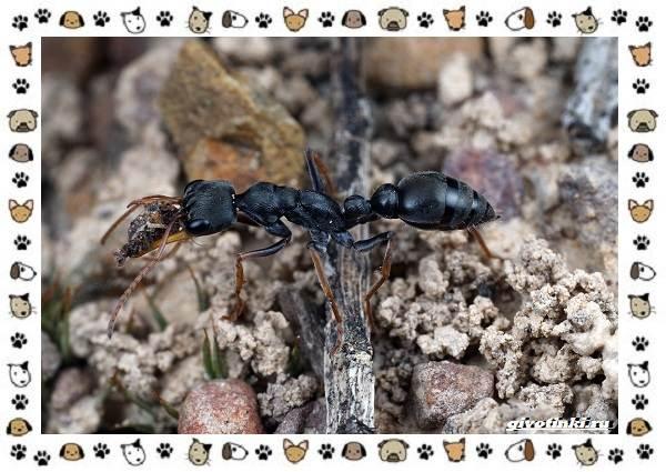 Виды-муравьёв-их-особенности-образ-жизни-и-среда-обитания-17