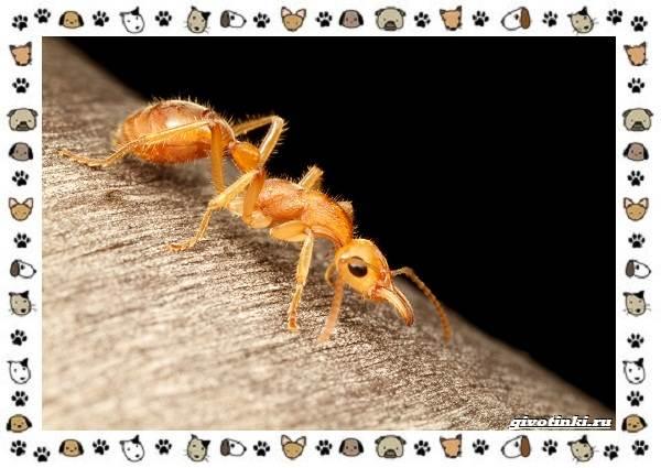 Виды-муравьёв-их-особенности-образ-жизни-и-среда-обитания-4