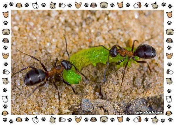 Виды-муравьёв-их-особенности-образ-жизни-и-среда-обитания-5