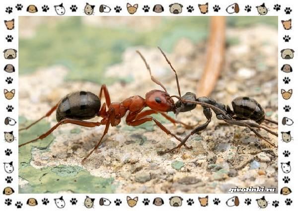 Виды-муравьёв-их-особенности-образ-жизни-и-среда-обитания-6