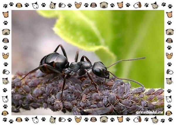 Виды-муравьёв-их-особенности-образ-жизни-и-среда-обитания-7