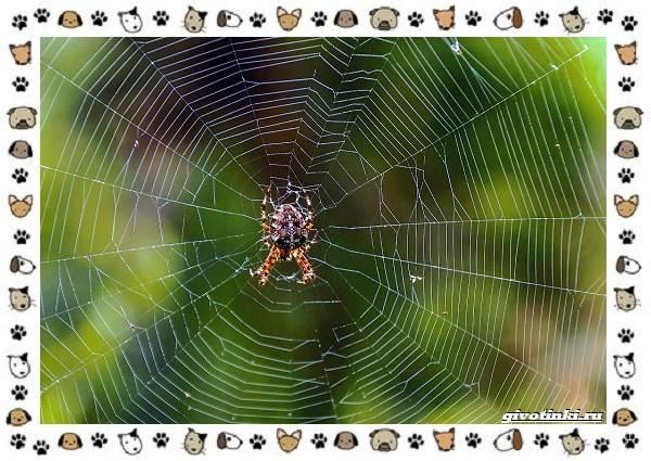 Виды-пауков-описание-особенности-и-образ-жизни-11