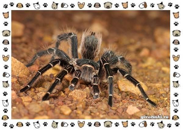 Виды-пауков-описание-особенности-и-образ-жизни-17