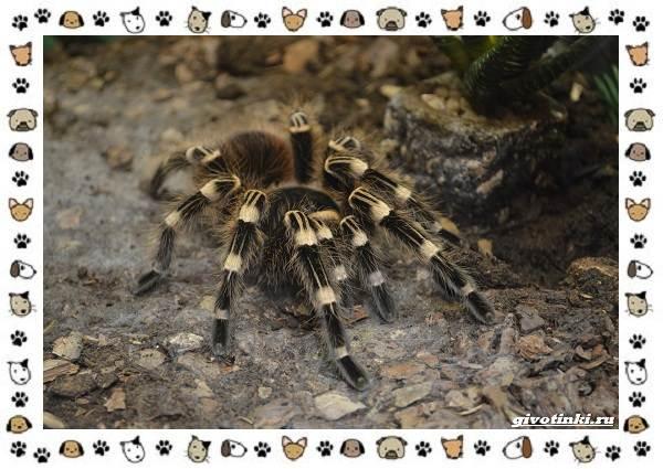 Виды-пауков-описание-особенности-и-образ-жизни-21
